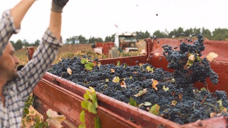 La D.O. Utiel-Requena recolecta 196 millones de kg de uva