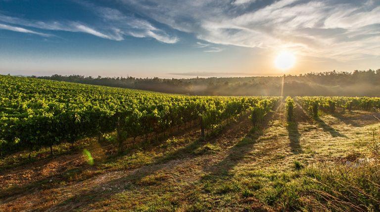 La DO Alicante trabaja para recuperar antiguas variedades de uva