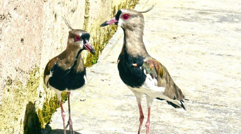 Crece la familia de aves de Terra Natura Benidorm con la llegada de dos nuevas especies americanas